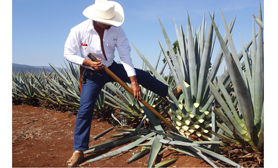 Tequila Agave Plant